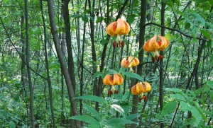 Orange Lilies by the Road