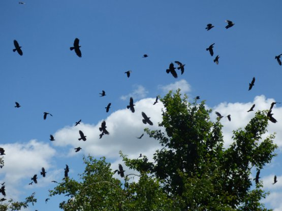 Sue Vincent's photo of corvids