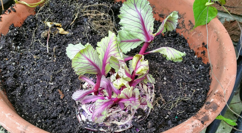 Half Cabbage in a Pot
