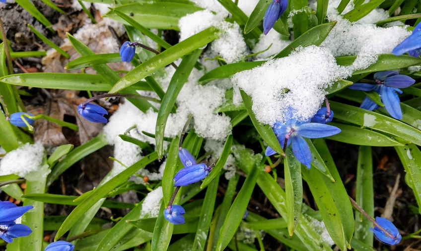 Gathering of Blue Blooms and Snow
