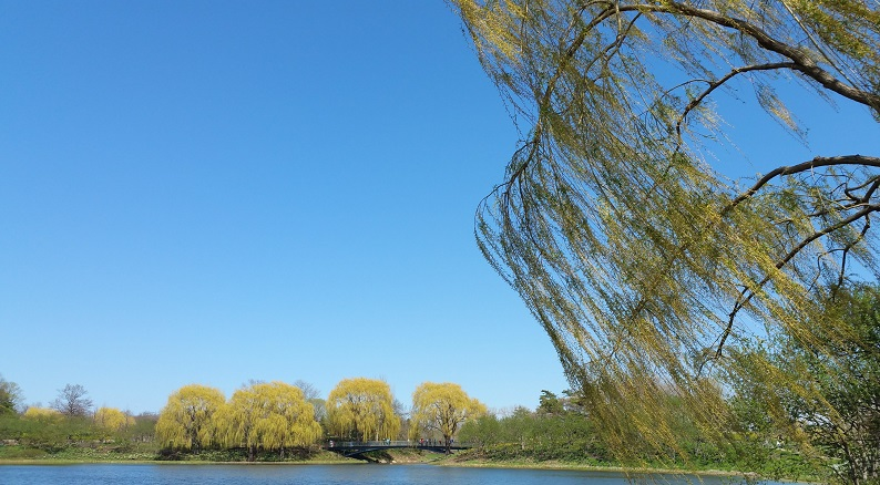 Mild Breeze Moves the Willow on a Bright Blue Day