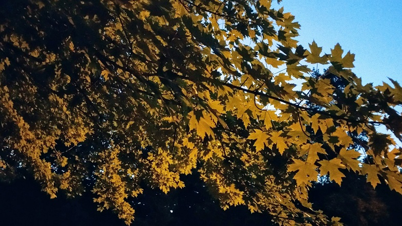 Maple Lit by Streetlight