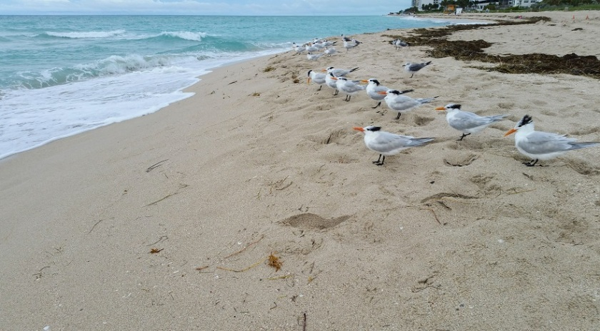 Royal Terns in a Row
