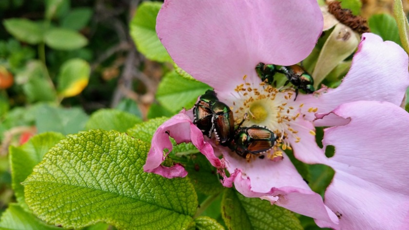 Beetles on a Rose Blossom