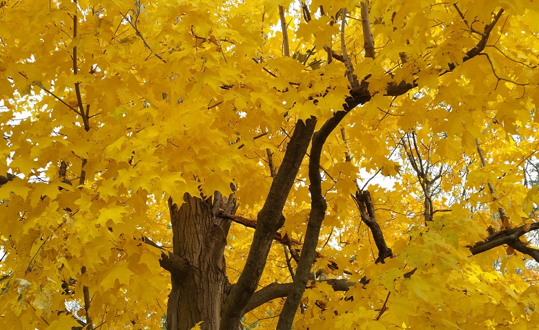 A Tree with Yellow Leaves