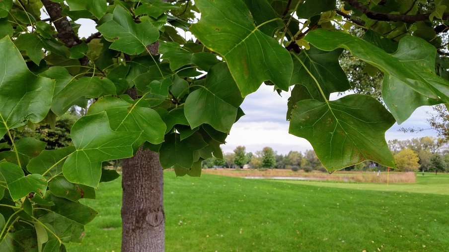 Through the Tulip Tree