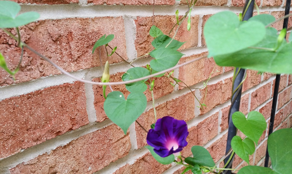 Blooming Morning Glory