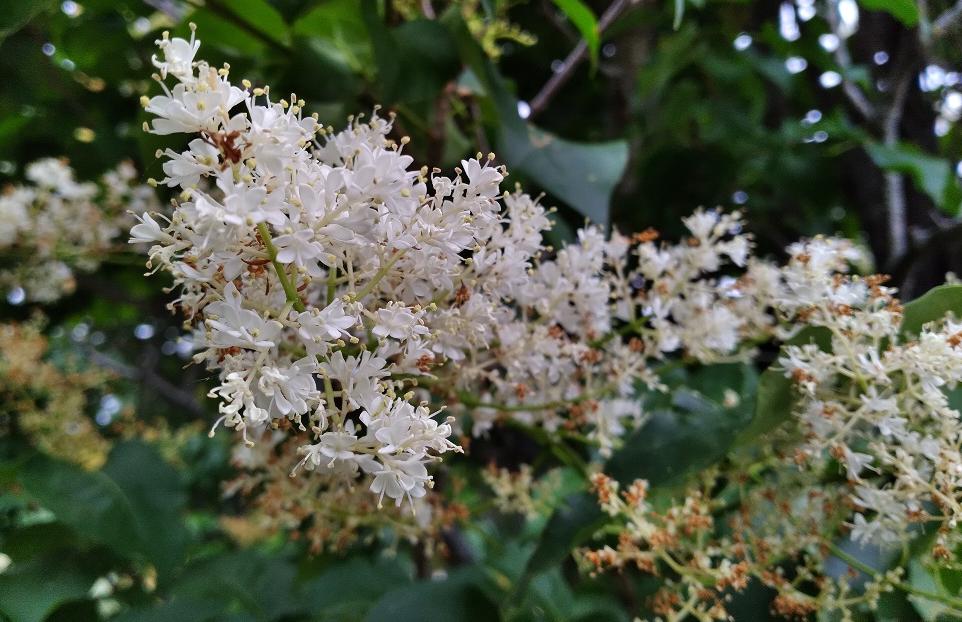 Skokie Lagoon White Blossoms